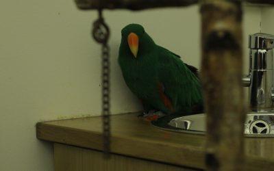 Papegøyegøy